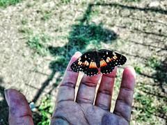 ○●Amo sus alas ❤●○ (ivethmendez86) Tags: nature naturaleza mariposa alas wings garden bonito colors butterfly insecto insect macro spring scarse beauty wonderful green insecta closeup explosure animal naturallight