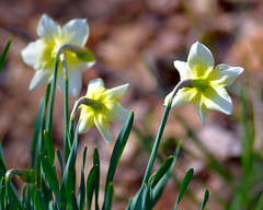 Narcissus, Coming Up (Chancy Rendezvous) Tags: flowers spring green dof nikkor stems leaves petals sunny daffodil narcissus