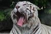 Tigre blanc (fauneetnature) Tags: tigre tigreblanc tiger animalier animaux animals animal wildlife wildanimal domainedesfauves mammifère