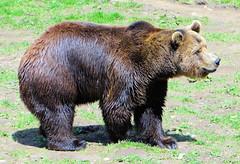 Grizzli (jean-daniel david) Tags: nature animal ours grizzli verdure brun vert pelouse closeup grosplan suisse suisseromande vaud vallorbe montdorzeires juraparc