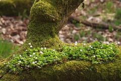2018_04_0336 (petermit2) Tags: moss woodsorrel sorrel padleygorge burbagebrook grindleford grindlefordstation longshaw peakdistrict ancientwoodland woodland derbyshire