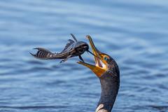 Flying Fish! (Linda Martin Photography) Tags: circlebbarreserve wildlife nature us polkcounty bird doublecrestedcormorant phalacrocoraxauritus florida animal coth alittlebeauty coth5 naturethroughthelens ngc npc