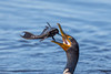 Flying Fish! (Linda Martin Photography) Tags: circlebbarreserve wildlife nature us polkcounty bird doublecrestedcormorant phalacrocoraxauritus florida animal coth alittlebeauty coth5 naturethroughthelens ngc npc