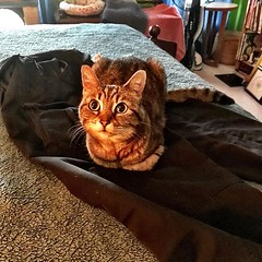 The Pants Thief (_BuBBy_) Tags: loaf bread down laying pants domesticus thief tabby brown cat feline ifttt instagram