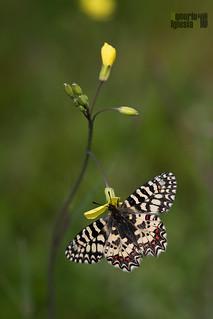 Las Mariposas de Valsaín y de la Sierra de Guadarrama