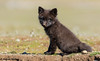 Black variant Red Fox Kit (Vulpes vulpes) (bcbirdergirl) Tags: vulpesvulpes redfox kit baby young blackvariant blackcolourmorph canihugyou youaresobeautifultome