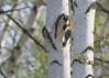 Red-belied Woodpecker - male (Melanerpes carolinus) (Gavin Edmondstone) Tags: melanerpescarolinus redbeliedwoodpecker woodpecker bird birch brontewoods oakville ontario
