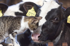 Hast du Milch für mich? // Do you have milk for me? (Zoom58.9) Tags: tiere landwirtschaft katze kalb portrait animals farm cat calf haustier tier animal canon eos 50d love liebe