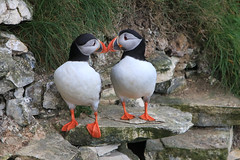 Pair of Puffins (Karen Roe) Tags: bemptoncliffs bempton coast cliff naturereserve nature reserve yorkshire county england britain uk unitedkingdom greatbritain gb canoneos760d canon 760d 150600mm sigma zoom contemporary wildlife may 2018 peaceful quiet tranquil outside spring weather season camera photography photograph photographer picture image snap shot photo karenroe female flickr visit visitor rspb royal society protection birds member sea coastal