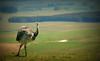A Volta do Ñandu (Eduardo Amorim) Tags: ñandu nhandu inhandu rheaamericana greaterrhea nandoudamérique nandu ema ave bird oiseau uccello vogel aves birds oiseaux uccelli vögel campo field champpinheiromachado pampa campanha fronteirariograndedosul brazil brésil guardavelha brasil sudamérica südamerika suramérica américadosul southamerica amériquedusud americameridionale américadelsur americadelsud eduardoamorim