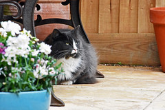 Watching Seagulls (Rachela B) Tags: whiskers cat ragdoll garden patio flowers deptoffield