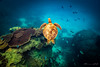 Turtle at Heron Bommie. (Theresa Hall (teniche)) Tags: australia canberra greatbarrierreef heronbommie heronisland queensland teniche theresahall coral fish reef underwater view water