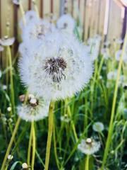 Make a wish (Salena Wijers) Tags: nature green dandelion wish summer