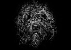 Ziggy Portrait No 1 (thelearningcurvedotca) Tags: briancarson canada canadian ontario thelearningcurvephotography toronto ziggy animal background beautiful blackwhite blackandwhite bnw breed canine companion cute dog domestic doodle expression face foto friend funny goldendoodle hound look looking male monochrome outdoors pet photo photograph photography portrait awardflickrbest bwartaward bwmaniacv2 bej blackwhitephotos blackandwhiteonly blogtophoto bwemotions cans2s discoveryphotos iamcanadian noiretblanc torontoist true2bw yourphototips