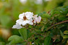 Blossoms. (dccradio) Tags: lumberton nc northcarolina robesoncounty outdoors outside nature blossom bloom plant greenery leaf leaves foliage bokeh flower floral flowers flowering nikond40 dslr branch