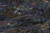 Looking Up (Stream) (brucetopher) Tags: herring riverherring fish water stream brook stonybrook river riverbottom bluebackherring alewife alewives spring riteofspring return rejuvenation rebirth migration spawn spawning springtime signsofspring babblingbrook eye eyes golden ripple wet underwater below subsurface look looking swim swimming