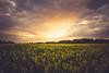 Canola Sunset (der_peste (on/off)) Tags: sunset fieldofcanola canolafield fieldofrape rapeseed sundown clouds crepuscularrays raysoflight sunrays lightrays cloudscape cloudporn colors landscape nature