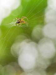 Spider (Horizonwalker) Tags: hongkong kowloonpeak feingoshan spider forest nature animal web summer outdoor