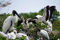 Storks Fighting (g_4life101) Tags: a6000 wakodahatchee stork storks icle6000 sony florida nature sel55210 birds