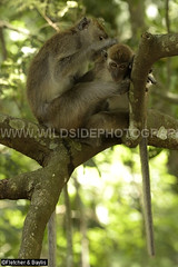 41241 Long-tailed macaque (Macaca fascicularis) female grooming a baby, Kuala Selangor Nature Park, Selangor, Malaysia. IUCN=Least Concern. (K Fletcher & D Baylis) Tags: wildlife animal fauna mammal baby primate monkey cercopithecidae macaque longtailedmacaque crabeatingmacaque macacafascicularis leastconcern grooming kualaselangornaturepark selangor malaysia asia april2018