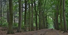 Boslaan, Havelte (henkmulder887) Tags: boslaan havelte drenthe eursinge zandweg zwdrenthe holland thenetherlands beuk beukenlaan groen bruin fietspad