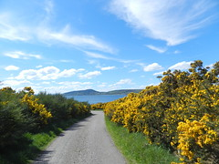 Alturlie, near Inverness, May 2018 (allanmaciver) Tags: alturlie allanfearn walk road coconut avenue smell gorse yellow bloom black isle moray firth clouds sky weather patterns white sprcial may green colour contrast scotland highlands allanmaciver