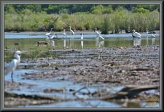Those looking for fish (WanaM3) Tags: wanam3 nikon d7100 nikond7100 texas pasadena clearlakecity horsepenbayou bayou outdoors nature wildlife canoeing paddling bird egret tidalpool