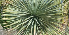 yucca (Torquay Palms) Tags: torquay torbay tor bay the english riviera south devon westcountry england uk yucca abbey park seafront pond spring 2018 march canon eos m