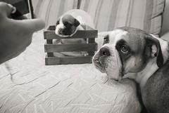 Arabesco (yjogam) Tags: amigobulls amigobuls amigo familienhund continentalbulldog continentalbulldoggewelpen leicax1 leica schwarz weiss