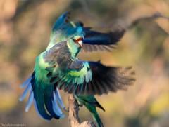 Mallee Ringneck Parrot's (Mykel46) Tags: nature birds bif parrot mulga sony a7rmk3 100400mm flight