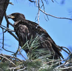 Lake Natoma Juvenile Bald Eagles (larryvenus) Tags: eagles baldeagles juvenilebaldeagles lakenatoma lakenatomabaldeagles birdsofprey sacramentoeagles folsomlakeeagles nikon nikond500 tamron tamron150600mmg2
