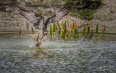 Gotcha- Osprey (Chris St. Michael) Tags: bird birdofprey birdinflight animal action osprey wildlife wildlifephotography nature naturephotography
