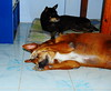 ,, The Dudes ,, (Jon in Thailand) Tags: dog dogs blue mrweenee boneyboy nikon d300 nikkor 175528 dogears dogpaws funnydogs floortile thebiglabowski thedude bigdog adogstory littledoglaughedstories