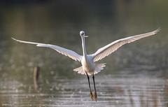 Aigrette garzette, Little Egret (Flyingchicken31) Tags: oiseau mazères ariège aigrettegarzette domainedesoiseaux ardéidés egrettagarzetta littleegret pélécaniformes bird