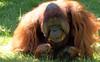 orangutan Kevin Apenheul BB2A1499 (j.a.kok) Tags: orangutan orangoetan orang animal asia azie ape apenheul aap mammal monkey mensaap primaat primate zoogdier dier kevin