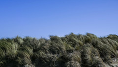 Morrow Bay Dunes (Evan Tchelepi) Tags: dp2m beach grass californiacoast foveon color nature