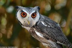 White face owl - Zie-Zoo (Mandenno photography) Tags: animal animals zoo dierenpark dierentuin dieren ziezoo zie volkel uden ngc nederland netherlands nature owl owls