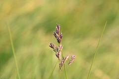 Wild grass (worldthroughalens74) Tags: purple grass wild nature outdoors canon sigma uk england staffs