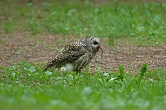 05202018Barred Owl FU5A1692 (Steven Arvid Gerde) Tags: owl