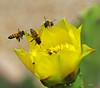 Incoming (agates4me) Tags: honeybees insects bugs cactusflower pricklypearcactusflower pollinators cactuspad texashillcountry ecosystem habitat nature macro