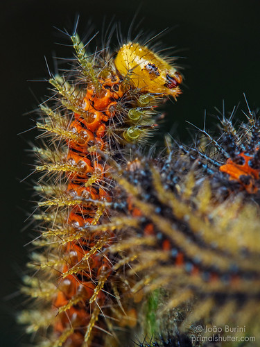 Saturniidae