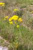 Isatis tinctoria - Woad (Simon Melville) Tags: isatistinctoria woad