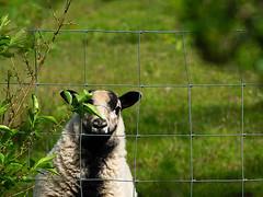 Got any food? (fstop186) Tags: sheep curious fence farm wales