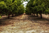Almond Orchard (Abel AP) Tags: trees orchard agriculture almondtrees centralvalley sanjoaquincounty california usa northerncalifornia abelalcantarphotography