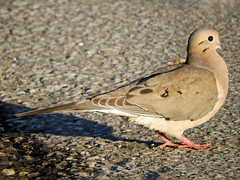 Mourning Dove, Pt. Pelee, Ontario, Canada (annkelliott) Tags: canada ontario ptpelee day1 nature wildlife ornithology avian bird dove mourningdove adult sideview walking road outdoor spring 7may2018 nikon b700 annkelliott anneelliott ©anneelliott2018 ©allrightsreserved