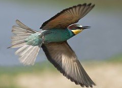 Bee Eater Flying (sefunzionasse) Tags: bee eater merops apiaster gruccione flying birds fly