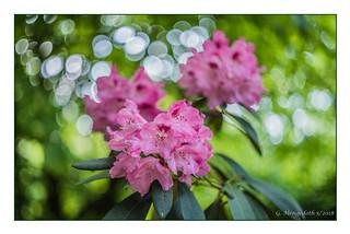 Rhododendronblüten und Bokeh