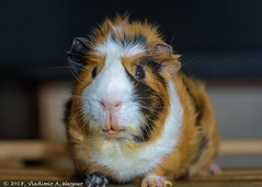 2018-05-24-21-17-57-D72_9753 (tsup_tuck) Tags: 2018 guineapigs may moscow pets spring