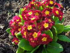 Red Primula (cloversun19) Tags: primula red primrose redprimerose russia flowers summer yelllow branch sky tree nature garden grass bright sun country green morning day sunnyday landskape travel positive someday petals petal beauty glory fairytale happy blooming blossoming blossom bloom flowering summerimages summerpicture flowerimages flowerbed ground dew springcolor color spring rock