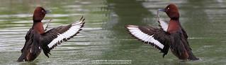 Moretta tabaccata - Aythya nyroca - Ferruginous Duck